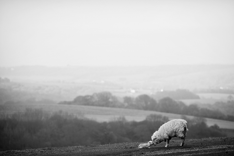 Start of Spring and a sheep encourages a newly born lamb to stand up on the cold Sussex Downs